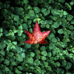red_leaf_hd1080p
